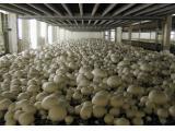 دوره آموزشی تخصصی پرورش قارچ خوراکی